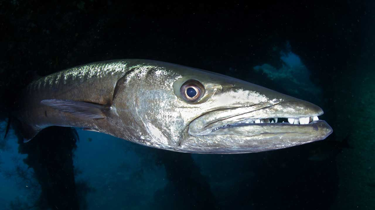 Barracuda Tulamben Diving Indo