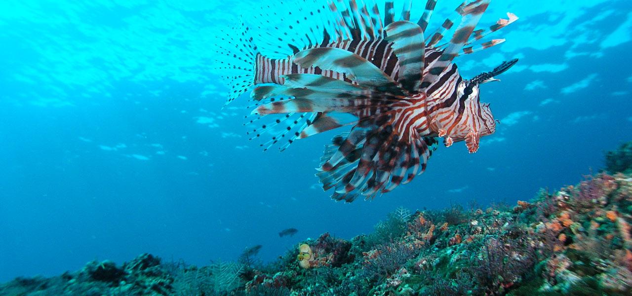 Scuba Diving Bali diving Lionfish