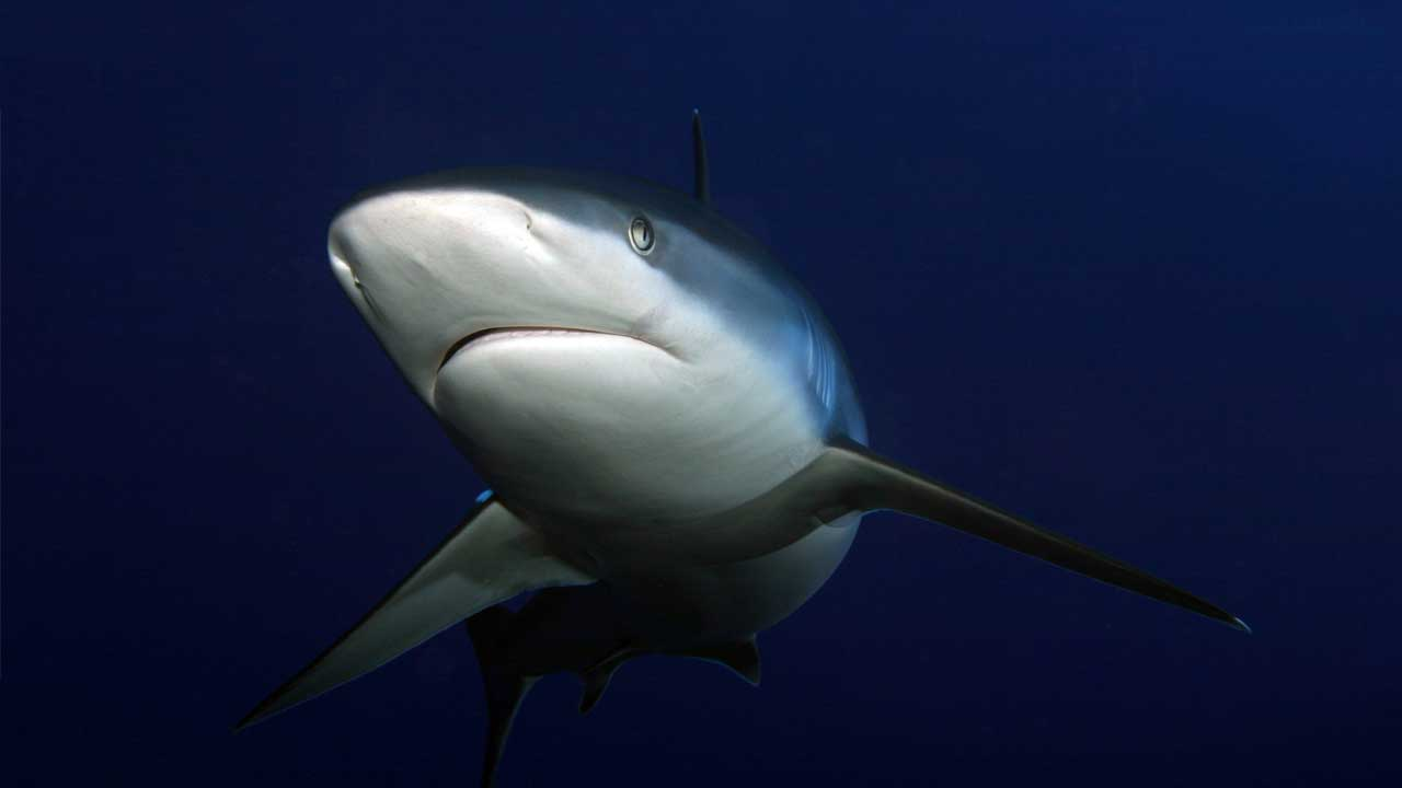 Diving-indo-shark