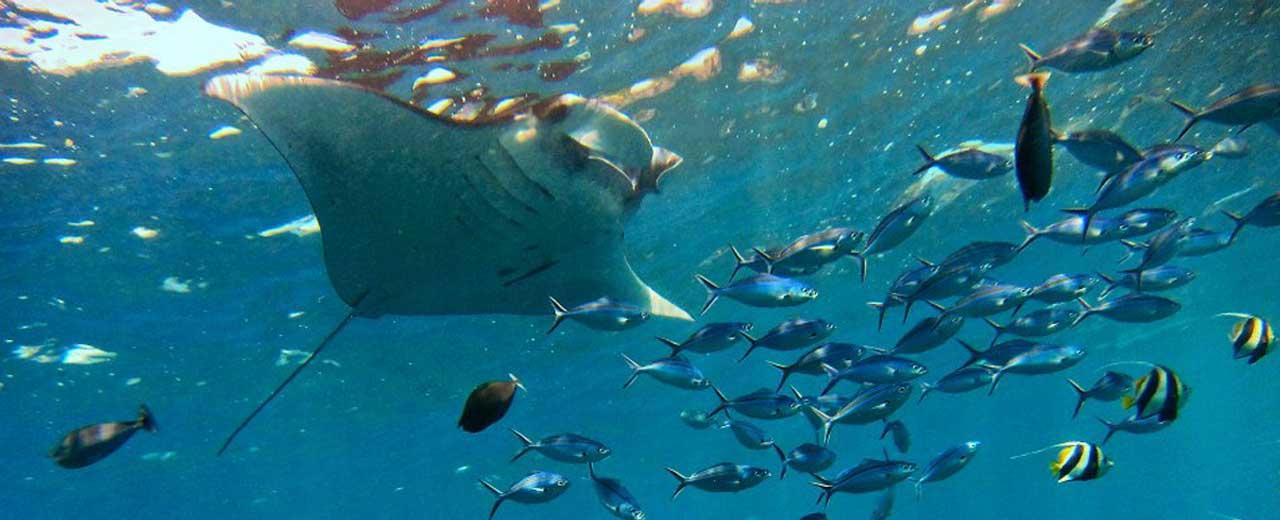Bali Snorkel Manta Rays