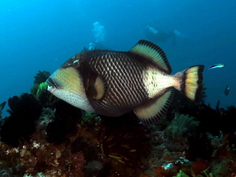 Triggerfish Bali