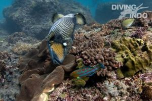 Triggerfish in Bali
