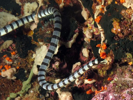 Creature Feature - Banded Sea Krait Bali