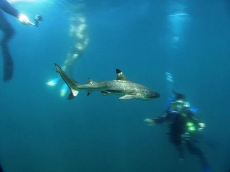 Shark Release Bali