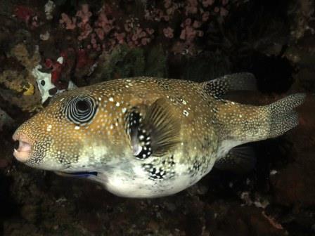 Bali Scuba Pufferfish