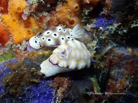 Diving In Bali Nudibranch