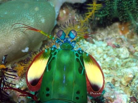 Mantis Shrimp Diving Bali