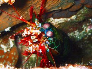 Mantis shrimp diving in Bali