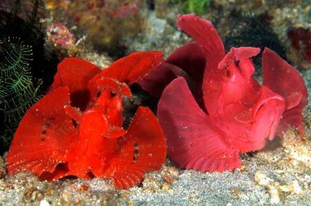 rhinopias scuba diving bali