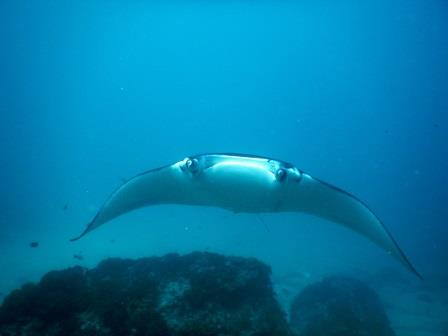 Manta ray at Manta Point