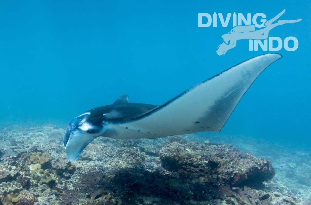manta diving wonderful