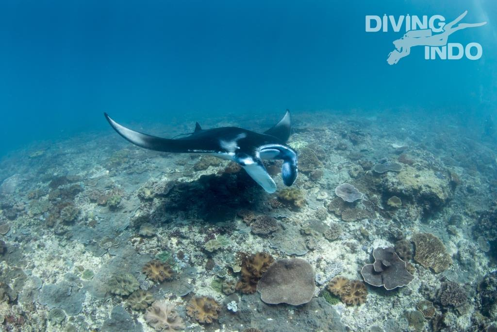 manta diving Bali nusa penida