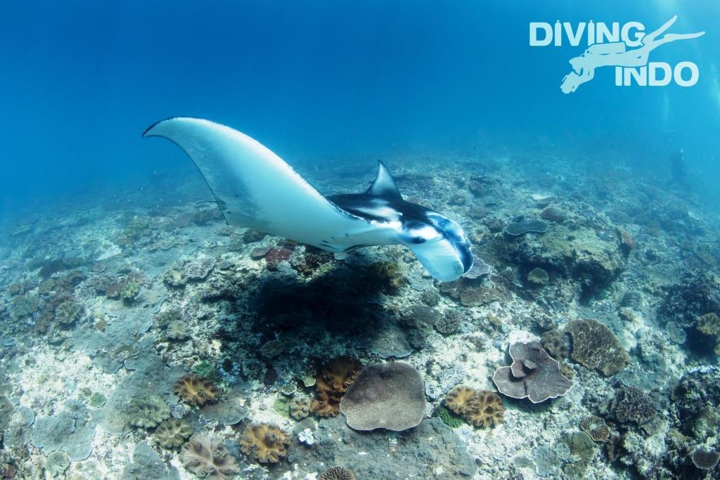 manta diving wingspan bali
