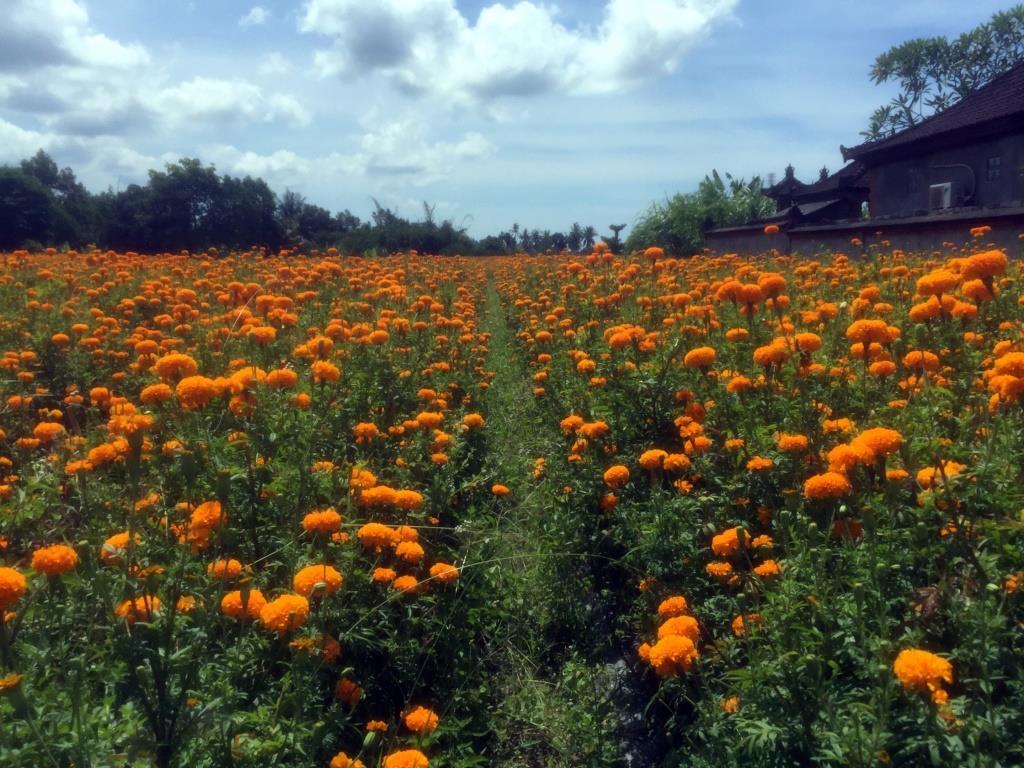 Marigolds in field