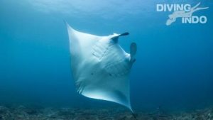 manta bali diving