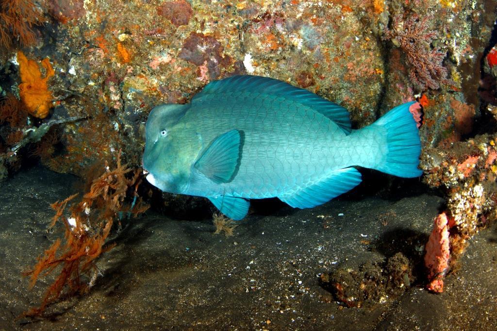Tulamben Bumphead parrotfish
