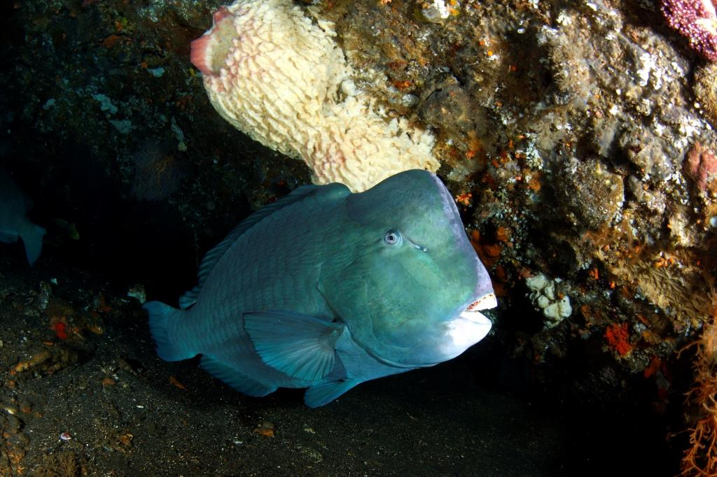 Bumphead parrotfish make the Liberty wreck at Tulamben their home.