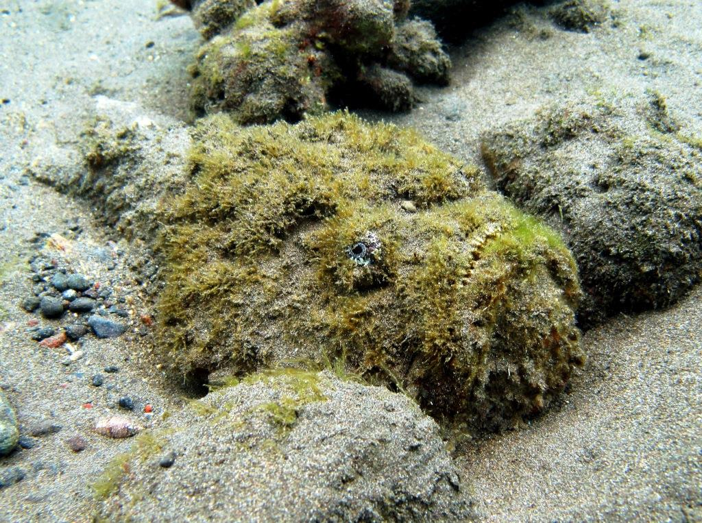 stonefish at Amed Bali