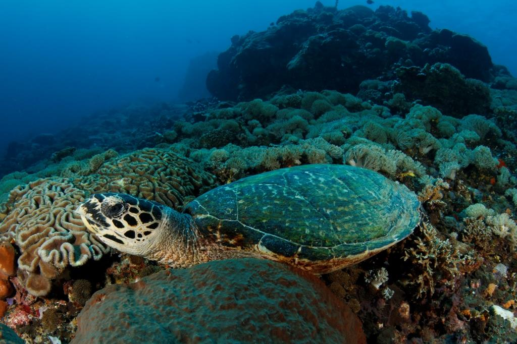Nusa penida hawksbill turtle bali