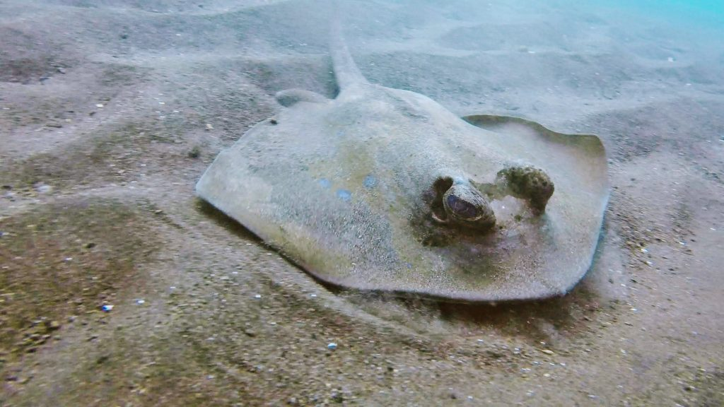 sting ray we saw near the liberty wreck in tulamben