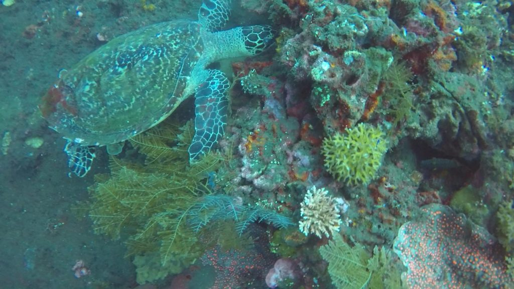 We saw a sea turtle, happily eating coral from the side of the Liberty at Tulamben in Bali.