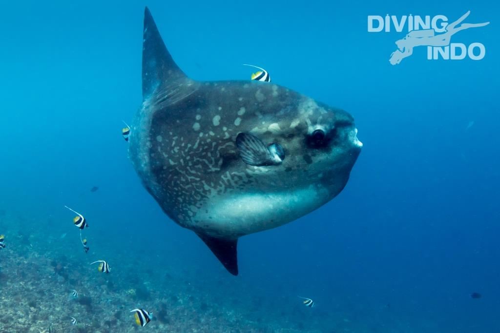 Love diving Mola Mola Nusa Penida Bali know before you go