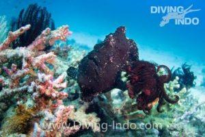 Black frogfish Nusa Penida Bal