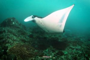 Holiday of a lifetime diving with manta rays